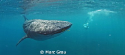 Whale-Shark amd snorkeller in Djibouti, Arta Beach by Marc Grau 